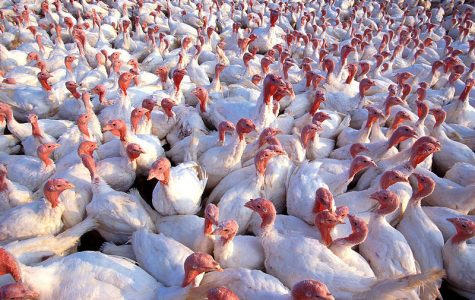 Really: Could Lakes Hold All the Chickens in the World?