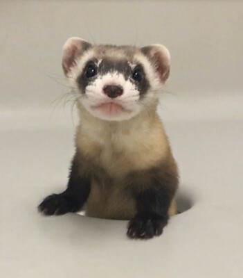 Elizabeth Ann The Black-Footed Ferret