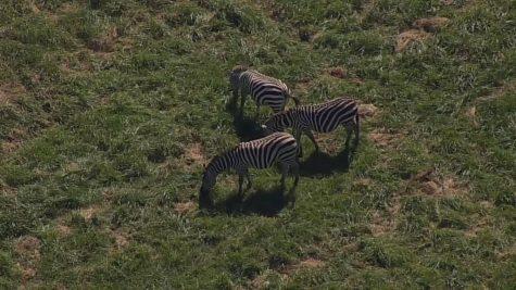 Zebras in Maryland