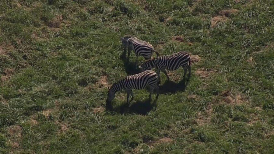 Zebras+in+Maryland